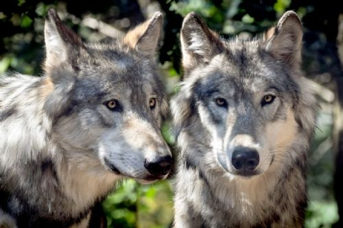 Wolf Canvas Wall Art -  The Pair